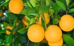 Pedidos de mudas frutíferas