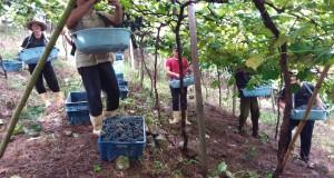 Safra da uva 2018/2019 tem início em Coronel Pilar